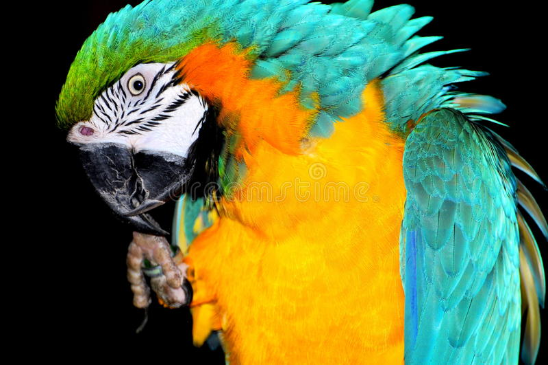 blå macawpapegojayellow arkivfoton