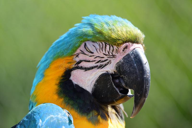 blå macawyellow arkivbilder