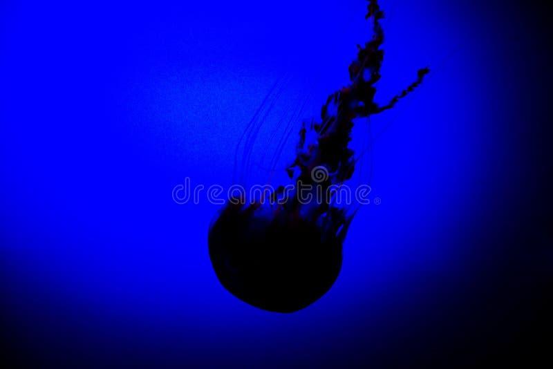blå manetwallpaper för bakgrund royaltyfri fotografi