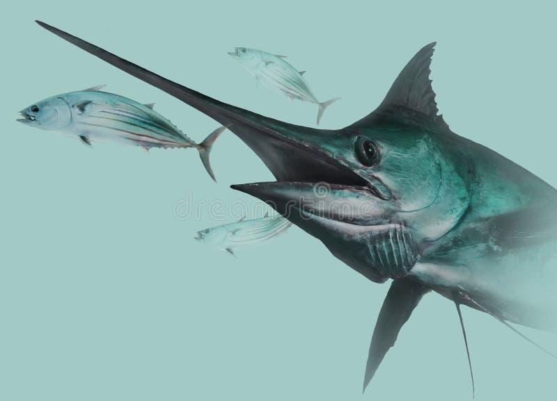 Blå marlin som jagar hoppbaggar fotografering för bildbyråer