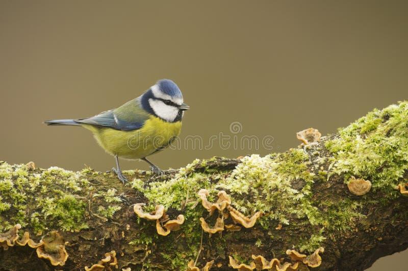 Blå mes; (Cyanistes caeruleus) sätta sig på en journal royaltyfria bilder