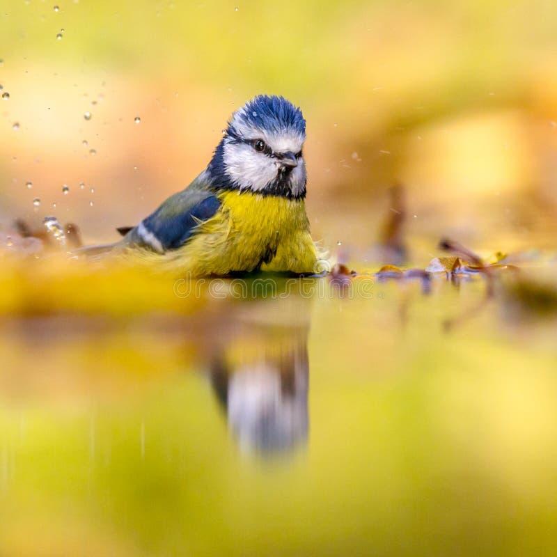 Blå mes i bakgrund för vattengulinghöst royaltyfri fotografi