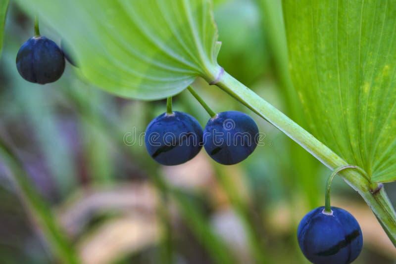 Blå mogen frukt på den sunda gröna växten Matkoloni - blåbärfält, fruktträdgård royaltyfria bilder