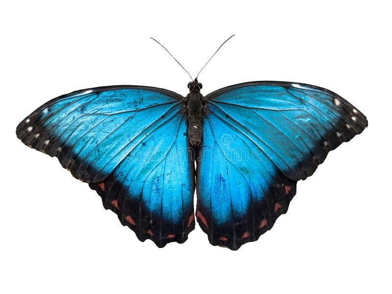 Blå Morpho fjäril, Morpho peleides som isoleras på vit bakgrund arkivbild