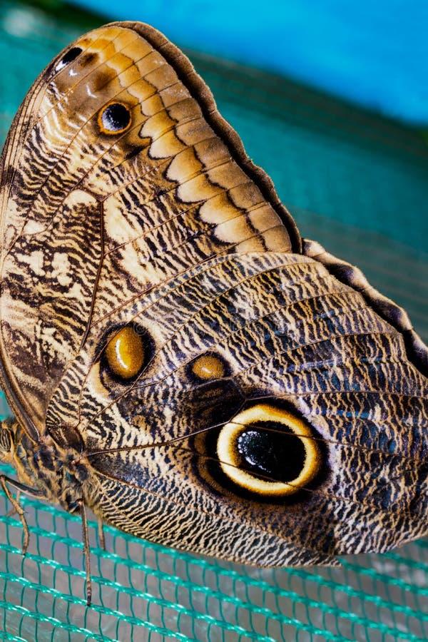Blå Morpho fjäril som sätta sig på att förtjäna Skönhet av naturen royaltyfria bilder