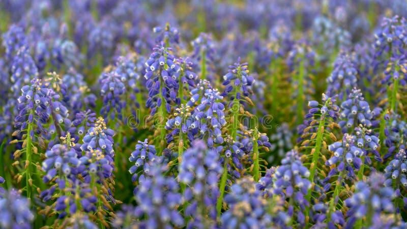 Blå Muscariarmeniacum, blommor för druvahyacinter i vårträdgård arkivfoton