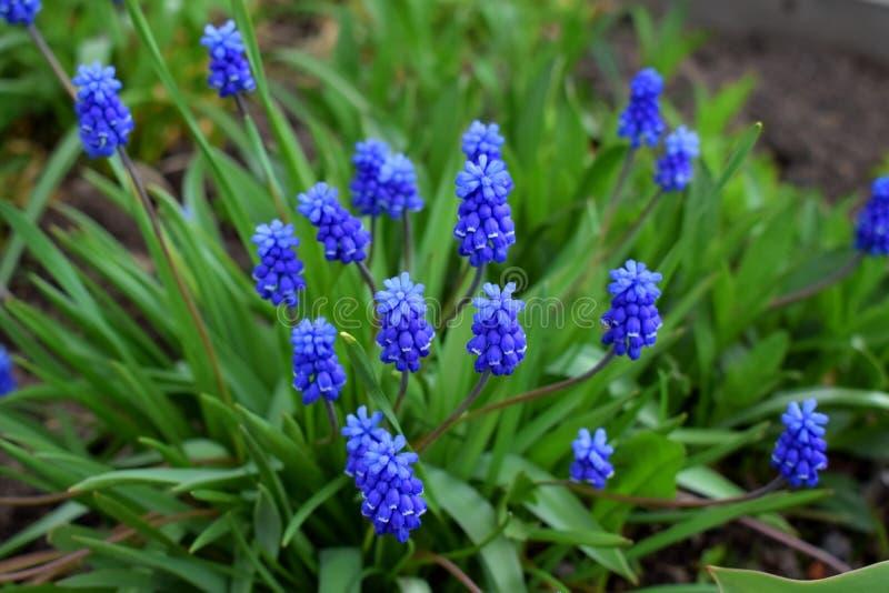 Blå muscariblommor eller mushyacint på rabatten arkivfoton