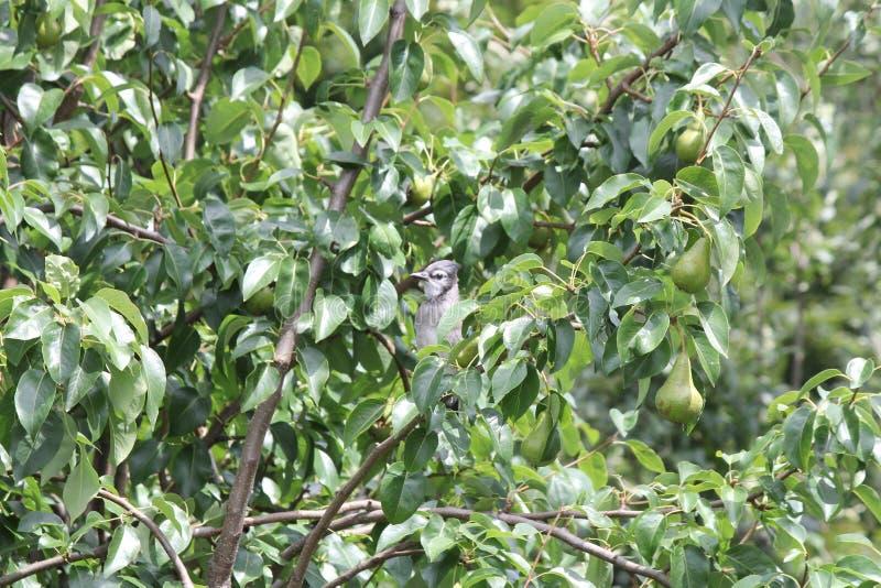 Blå nötskrika (Cyanocittacristata) på trädfilial fotografering för bildbyråer