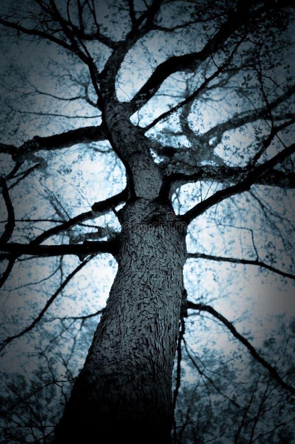 blå oaktree arkivbilder
