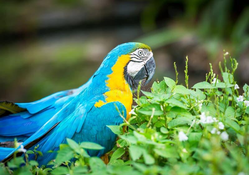 Blå och gul ara royaltyfri fotografi