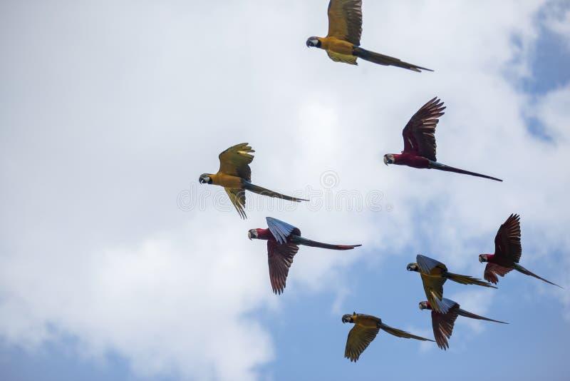 Blå och gul ara - munkhättaararauna arkivfoto