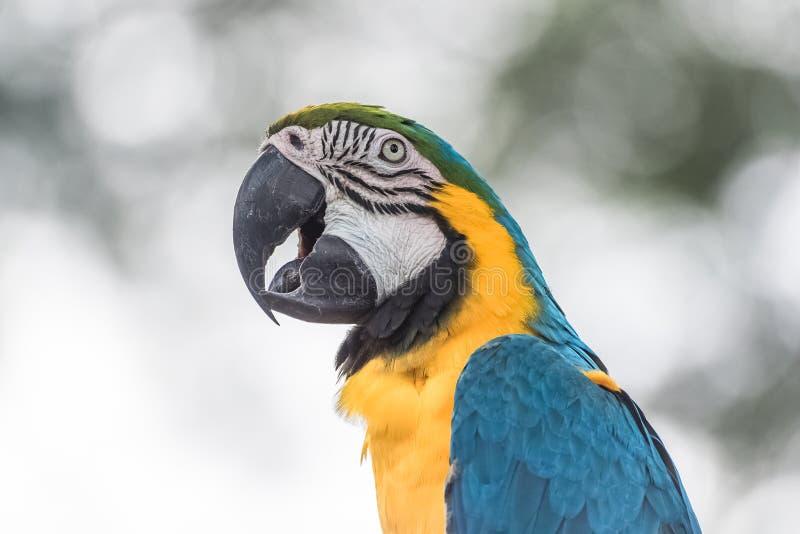 Blå och gul ara, papegoja royaltyfri bild