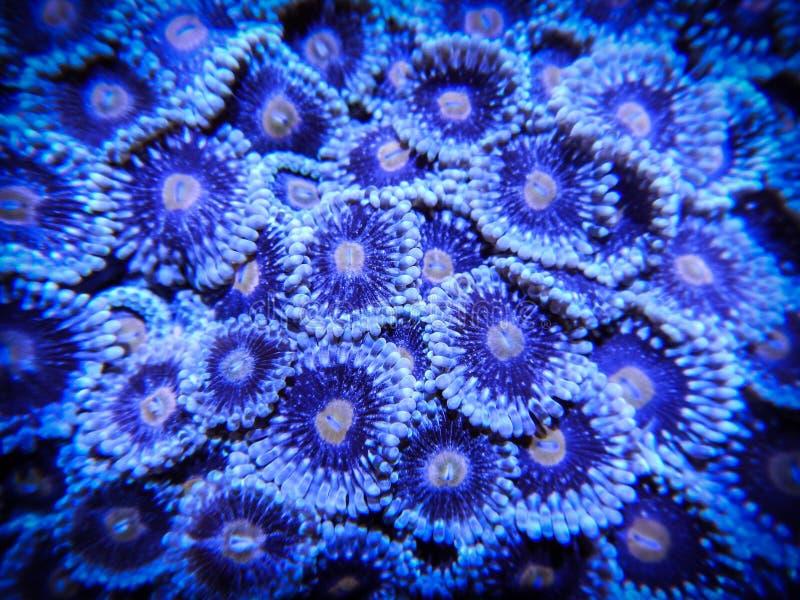 Blå och orange Zoanthid korall royaltyfria foton