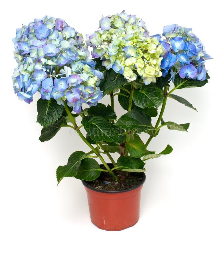 Blå och purpurfärgad vanlig hortensia royaltyfri bild