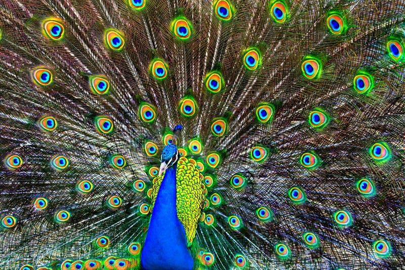 blå påfågel