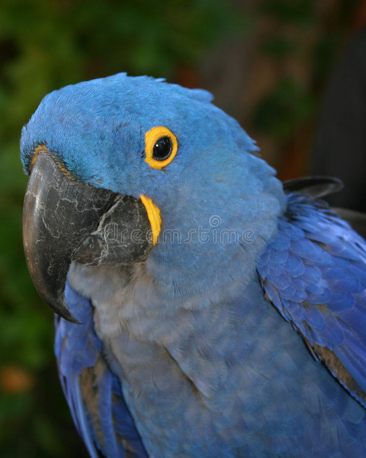 Blå Papegoja Royaltyfri Fotografi