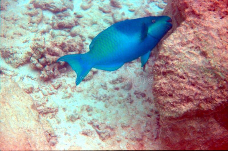 blå parrotfish arkivbild