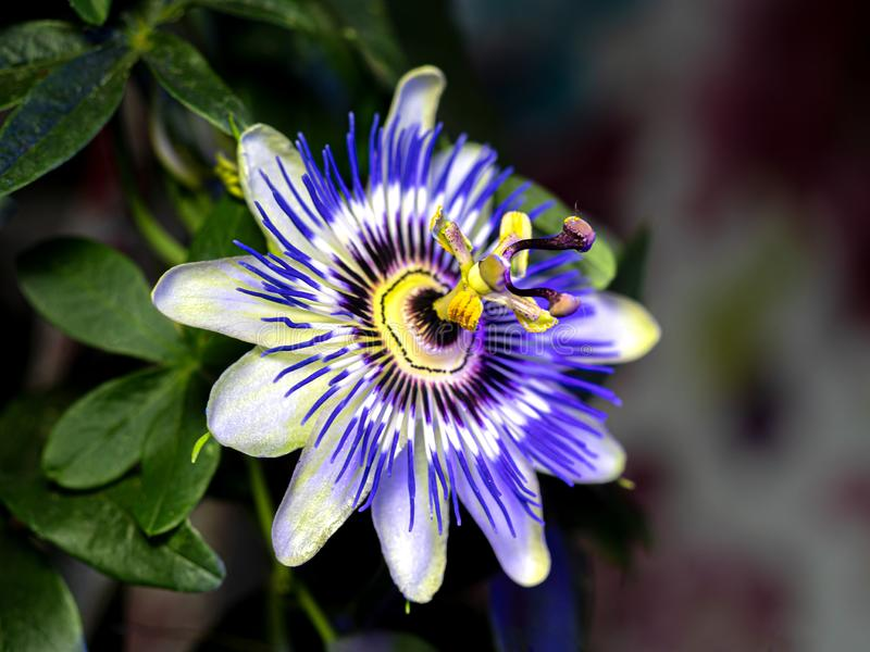 Blå passionsblomma - Passifloracaerulea royaltyfri fotografi