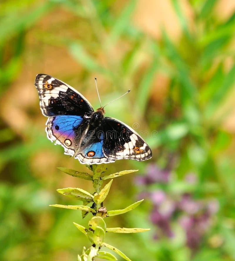 Blå penséfjäril i en trädgård royaltyfri bild