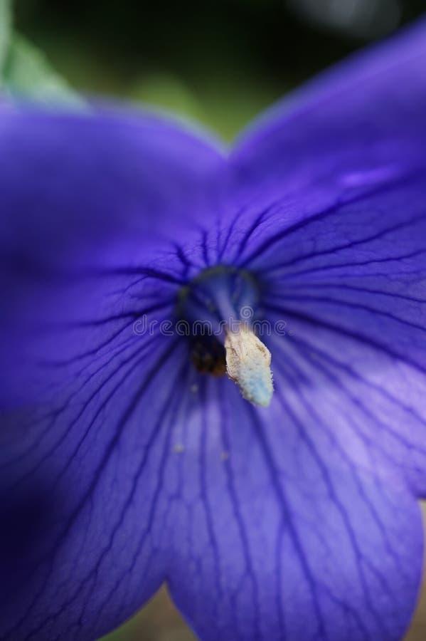 Blå petunia i makro med fokusen på pollenet arkivfoton