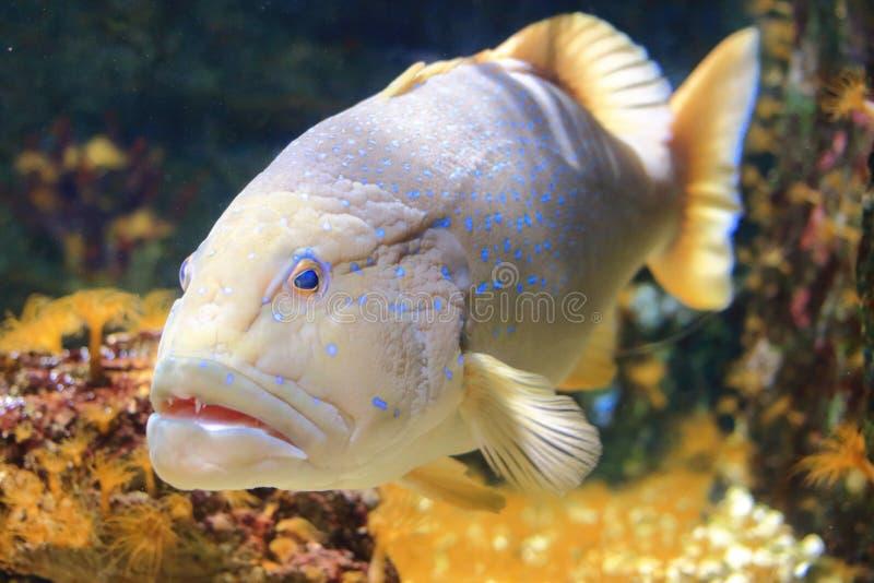 Blå prickig havsaborre royaltyfri fotografi