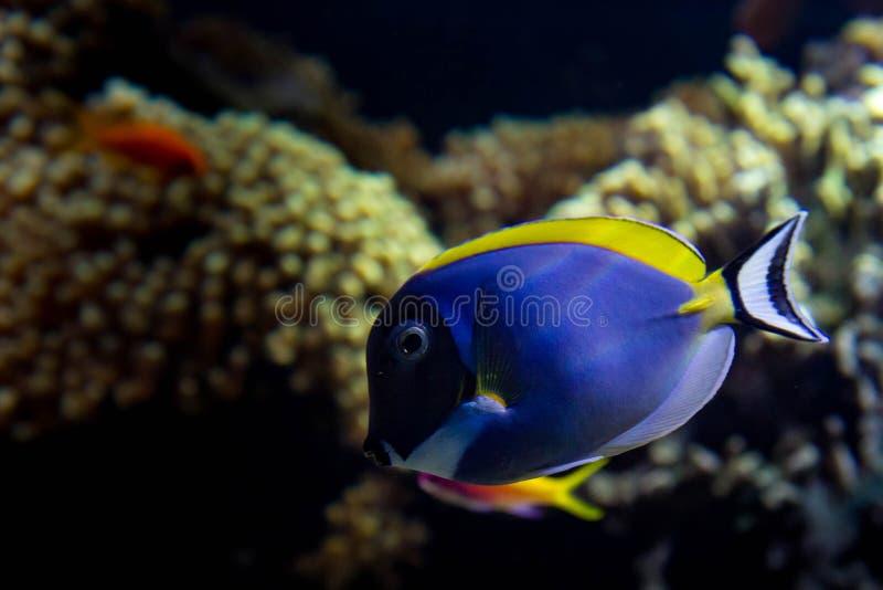 blå pulversurgeonfish royaltyfri foto