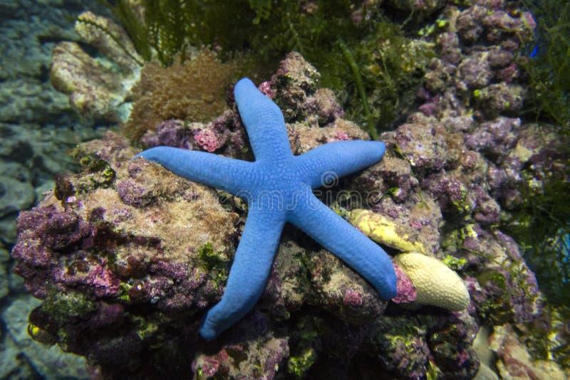 Blå sjöstjärna laevigate Linkia royaltyfria foton