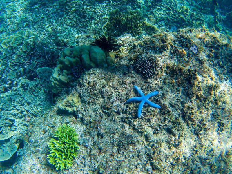 Blå sjöstjärna på korallhavsbotten Undervattens- foto för tropisk sjöstjärna Exotiskt akvariumdjur royaltyfria foton