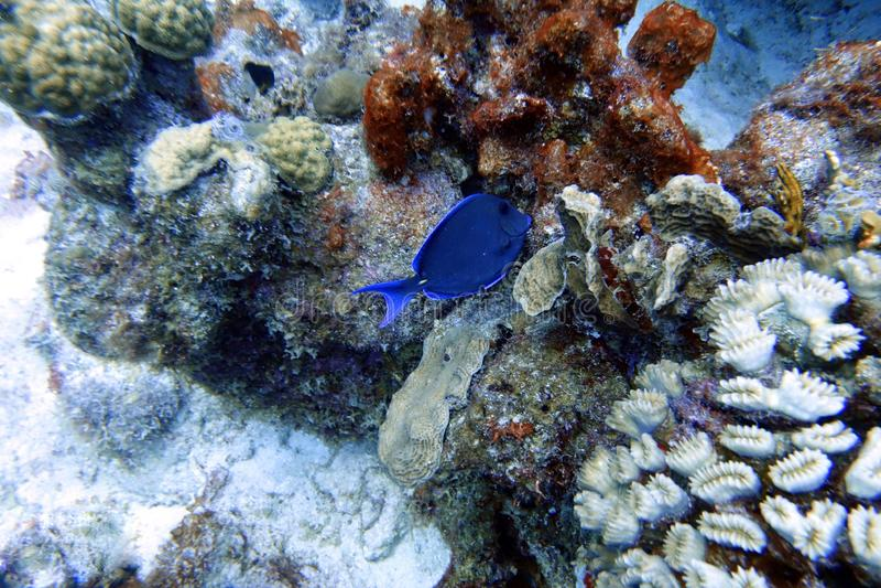 Blå skarp smakfisk som simmar i havet royaltyfri bild