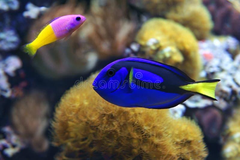 Blå skarp smakParacanthurus hepatus och Bicolor Dottyback Pictichromis paccagnella royaltyfria foton