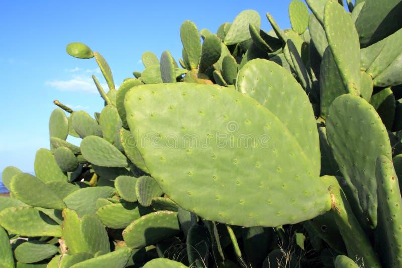blå sky för växt för kaktuschumberanopal arkivfoton