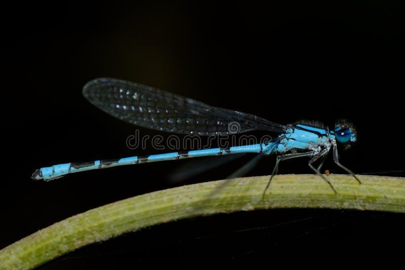 blå slända royaltyfria foton