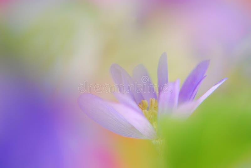 blå soft för anemon fotografering för bildbyråer