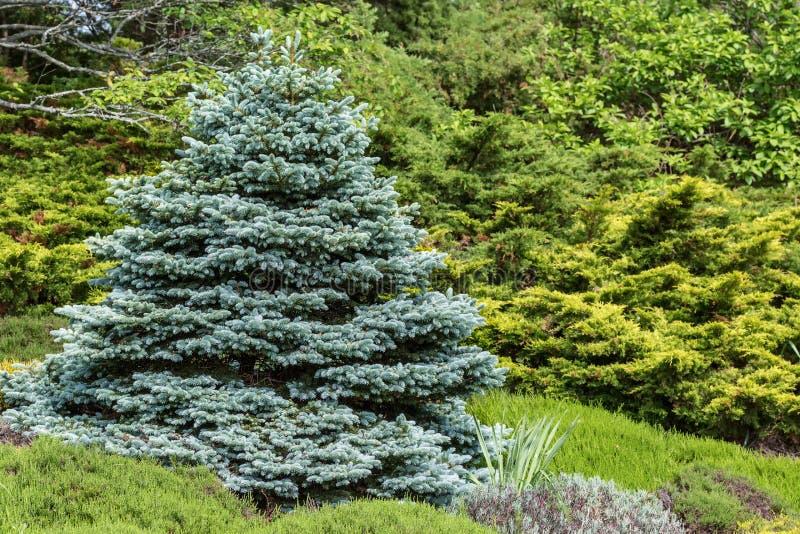 blå spruce arkivfoton
