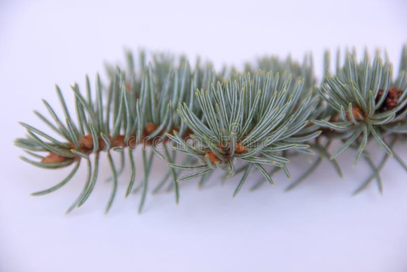 blå spruce arkivfoto