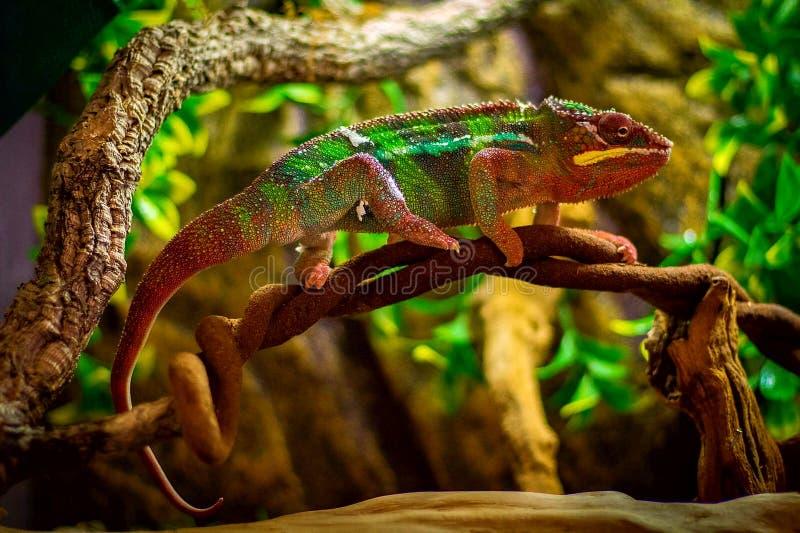 Blå stångpanterkameleont royaltyfria foton