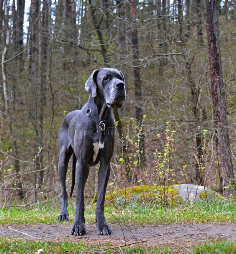 Blå stor Great dane hund arkivbild