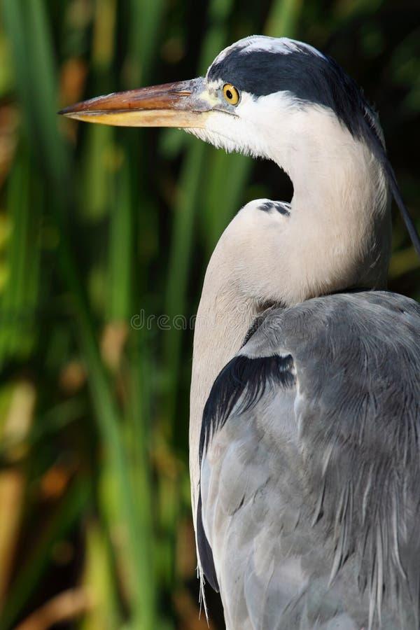 Blå Stor Heron Royaltyfri Foto