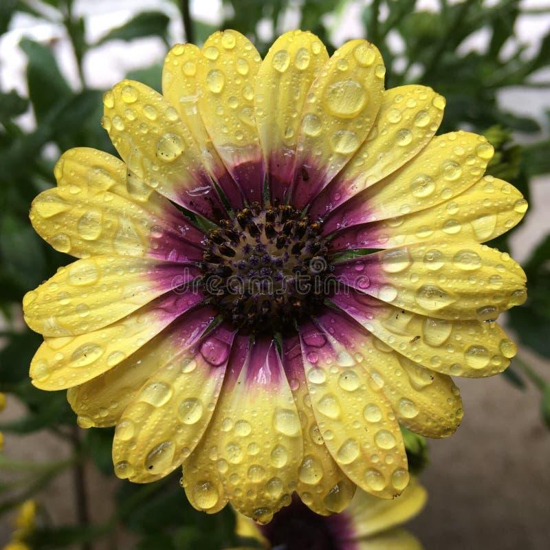 Blå synad skönhetosteospermum royaltyfri foto