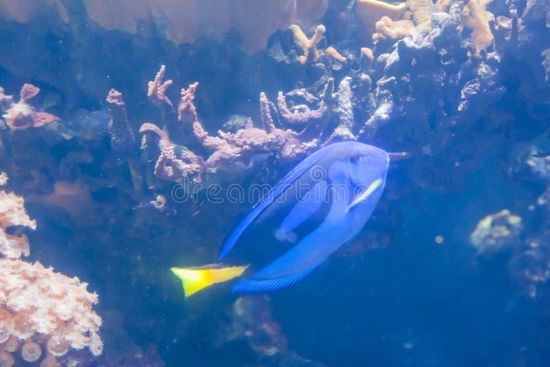 Blå Tang Surgeon Fish - Paracanthurus hepatus Underbar och härlig undervattens- värld med koraller och den tropiska fisken arkivbild