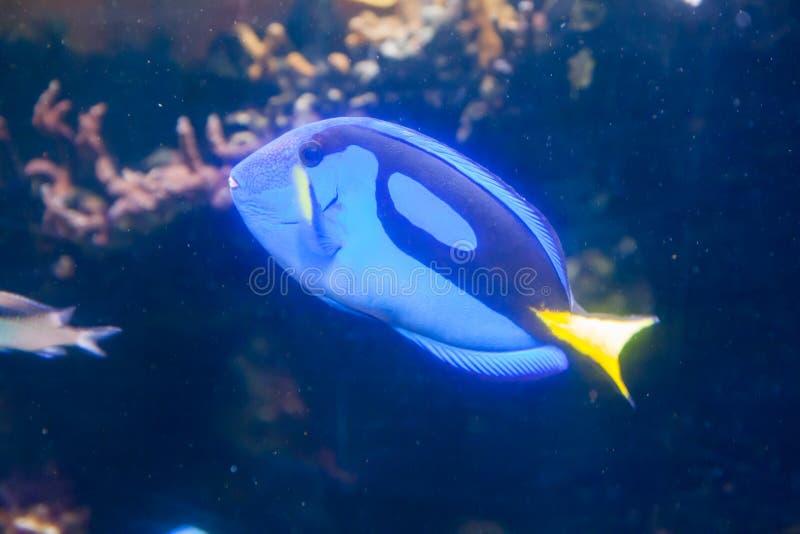 Blå Tang Surgeon Fish - Paracanthurus hepatus Underbar och härlig undervattens- värld med koraller och den tropiska fisken fotografering för bildbyråer