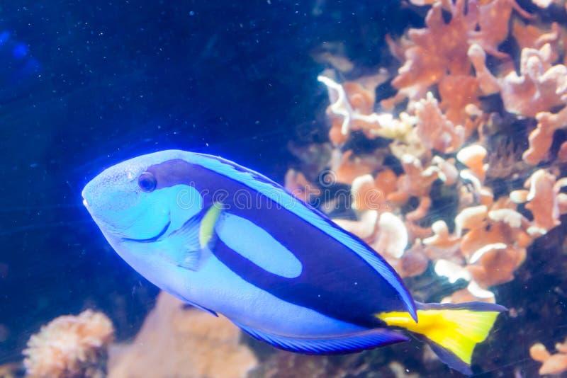 Blå Tang Surgeon Fish - Paracanthurus hepatus Underbar och härlig undervattens- värld med koraller och den tropiska fisken royaltyfri fotografi