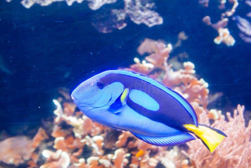 Blå Tang Surgeon Fish - Paracanthurus hepatus Underbar och härlig undervattens- värld med koraller och den tropiska fisken royaltyfri bild
