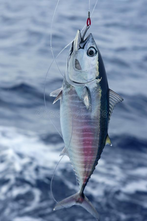 blå tonfisk för frigörare för bluefinlåsfena royaltyfri fotografi