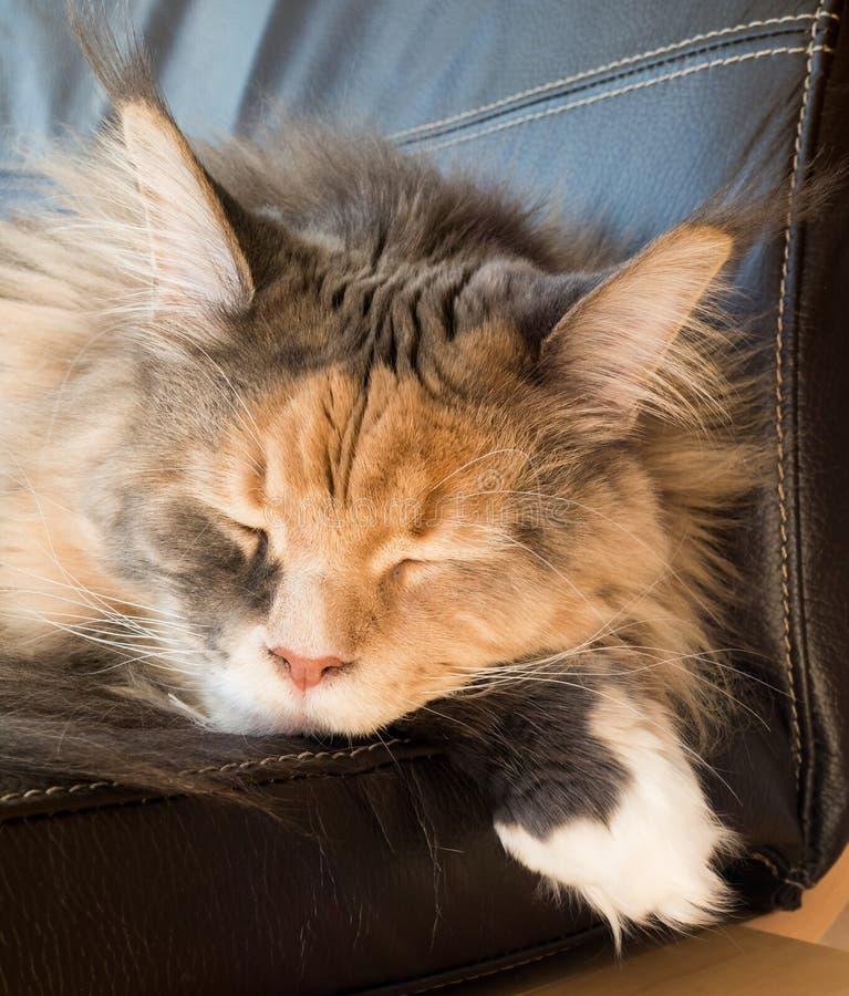 Blå Tortie strimmig katt med vita Maine Coon Cat Sleeping på stol arkivfoto