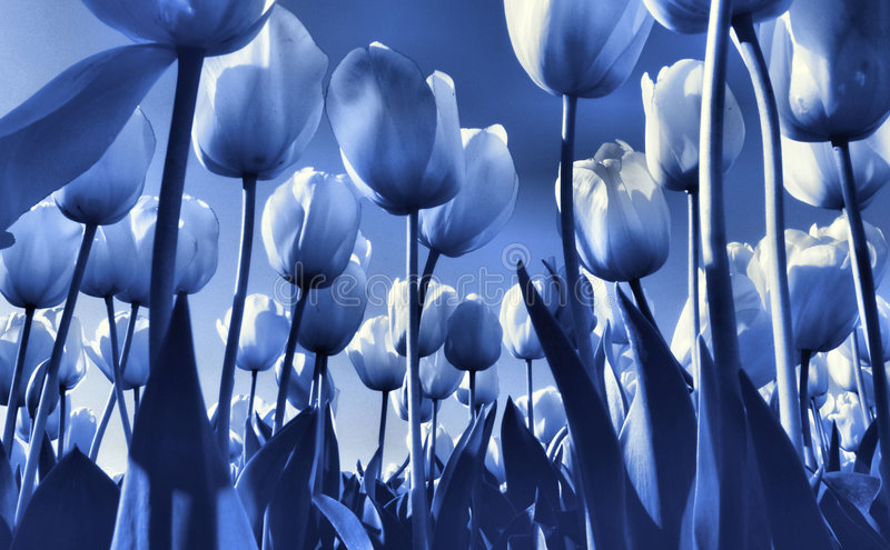 blå tulpan för delft fält s royaltyfri foto