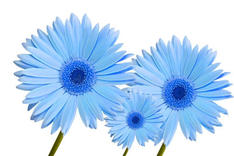 blå tusenskönagerbera tre arkivfoton