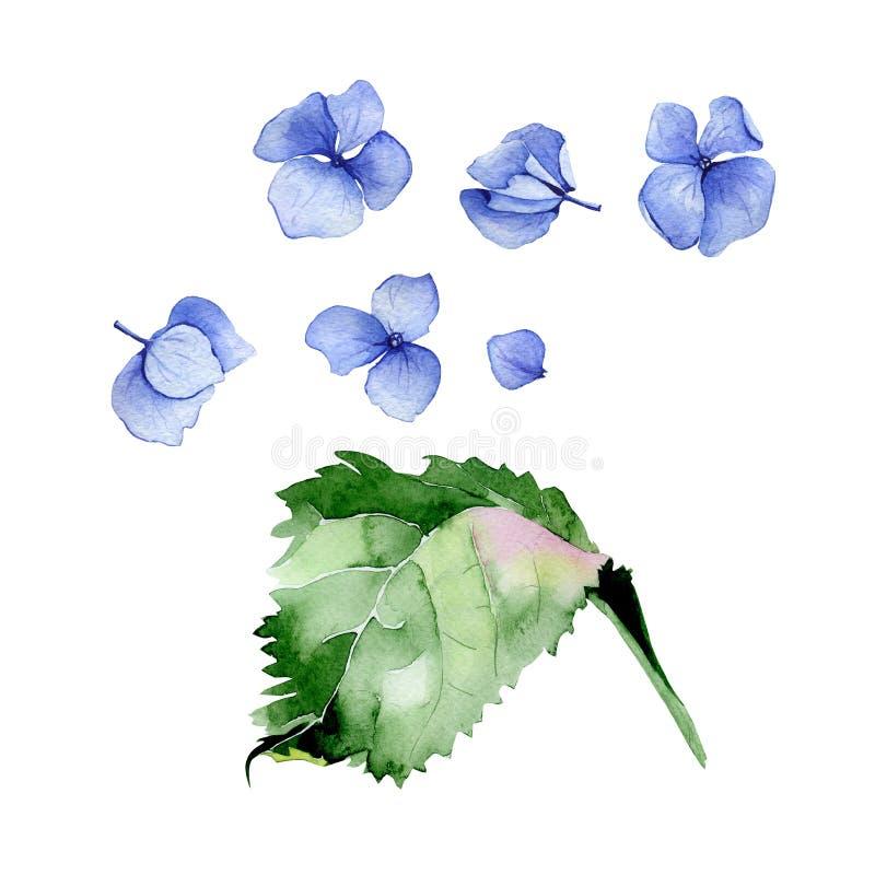 Blå uppsättning för blom- design för vattenfärgvanlig hortensia fotografering för bildbyråer