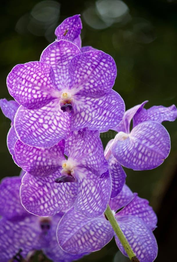 Blå vanda orkidéblomma arkivfoto