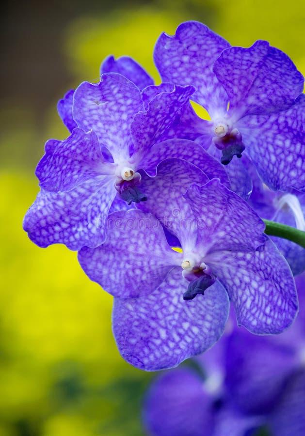 Blå vanda orkidéblomma arkivbild